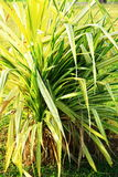 Single cluster of ornamental grass. Upright grown of Phalaris arundinacea growing in marina bay east garden in singapore Royalty Free Stock Image