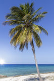 Single coconut palm tree Royalty Free Stock Image
