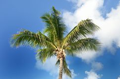 Single Coconut tree with sky Stock Images