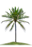 The single coconut tree on white isolate background Royalty Free Stock Photo