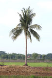 Single coconuts tree on the ridge Royalty Free Stock Photos