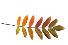 Single colorful autumnal rowan leaf close up on white background. Single bright multi-colored leaf of ashberry painted in a palette of autumn colors, close-up royalty free stock image