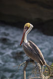 Single colorful brown pelican perched on a cliff in San Diego, California Royalty Free Stock Photos