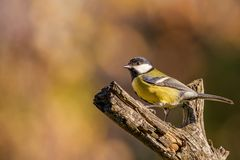 Single colorful great-tit songbird perched on dry twig. Horizontal photo of single male great tit bird. The songbird has yellow, black and white feathers. Avian Stock Image