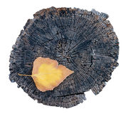 Single colorful leaf and old tree stump Royalty Free Stock Photos