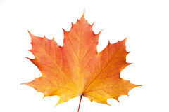 Single colorful maple leaf at autumn Royalty Free Stock Photos