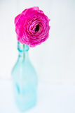 Single colorful persian buttercup flower (ranunculus) Royalty Free Stock Photo