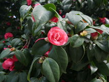 Single colorful pink camellia flower on a bush. Single colorful ornamental pink camellia flower growing on an evergreen bush in the garden in a full frame view Royalty Free Stock Photos