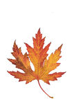 Single colorful red, yellow and brown maple autumn leaf Stock Photography