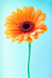 Single orange gerbera daisy Royalty Free Stock Photo