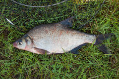 Single common bream fish fish on green grass. Catching freshwate Stock Photos