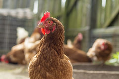 Single common brown chicken Royalty Free Stock Image