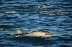 Single Common Dolphin. Beautiful common dolphin and friends stock photo