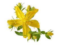 Single Common St. Johnswort Royalty Free Stock Images