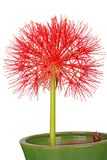 Flower head of a potted blood lily Scadoxus multiflorus isolated Royalty Free Stock Photo