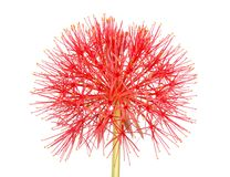Flower head of the blood lily Scadoxus multiflorus isolated on w Royalty Free Stock Image