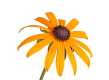 Single compound flower of a Rudbeckia isolated on white Stock Images