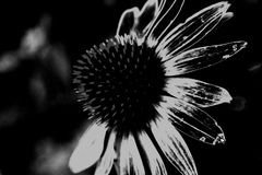 Single cone flower black and white. Single cone flower in garden black and white Royalty Free Stock Image