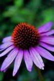 Single cone flower. In garden Stock Photo