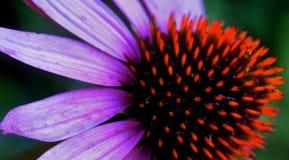 Single cone flower. In garden Stock Photos