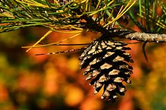 Single cone of pine tree branch on autumn yellow leafage background Stock Images