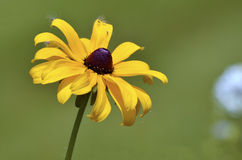 Single coneflower Stock Image