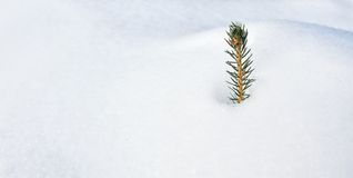 Single Conifer Branch in the Snow. Single Conifer Branch stuck in the Snow stock images