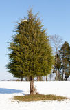 Single conifer in the snow. A single conifer tree standing alone in the snow with the grass showing around the base stock images