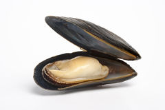 Single cooked mussel Stock Photos