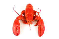 Single cooked red lobster isolated on white background Royalty Free Stock Image