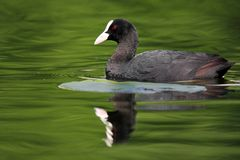 Single Coot bird swimming on water surface of wetlands during a. Spring nesting period Stock Photography