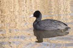 A single coot on the Ornamental Pond, Southampton Common Royalty Free Stock Images