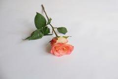 Single coral rose Stock Photos