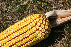 Single corn Royalty Free Stock Images