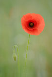 Single Corn Poppy portrait stock photography