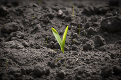 Single corn sprout on a field Stock Image