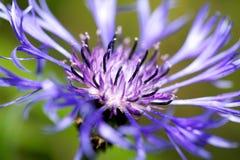 Single cornflower. A macro photo of a cornflower Royalty Free Stock Images
