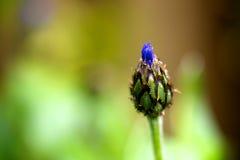 Single cornflower bud. A macro photo of a cornflower bud Royalty Free Stock Image