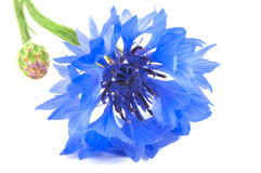 Single cornflower close-up Royalty Free Stock Image