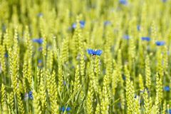 Single Cornflowers in a Field. Stock Images