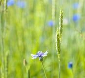 Single Cornflowers in a Field. Royalty Free Stock Image