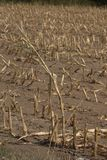 Single cornstalk Zea mays in the middle of an already harvested corn field. The soil around the cornsatlk is extremely dry, as a result of a lack of water due Royalty Free Stock Image