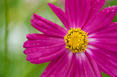 Single cosmos flower Royalty Free Stock Image