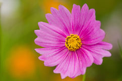 Single cosmos flower Stock Photography