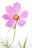 Single cosmos flower isolated Stock Image