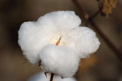 Single Cotton Boll in the Field. Close-up of a Single Cotton Boll in the Field Royalty Free Stock Photos