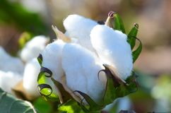 Single Cotton Bolls Backlit by the Sun stock photo