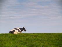 Single cow Stock Image
