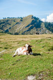 Single Cow in the Alps Stock Photography