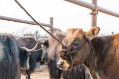 Single cow at an animal market Royalty Free Stock Photo
